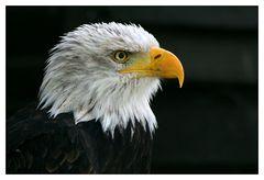 Weißkopfseeadler ...