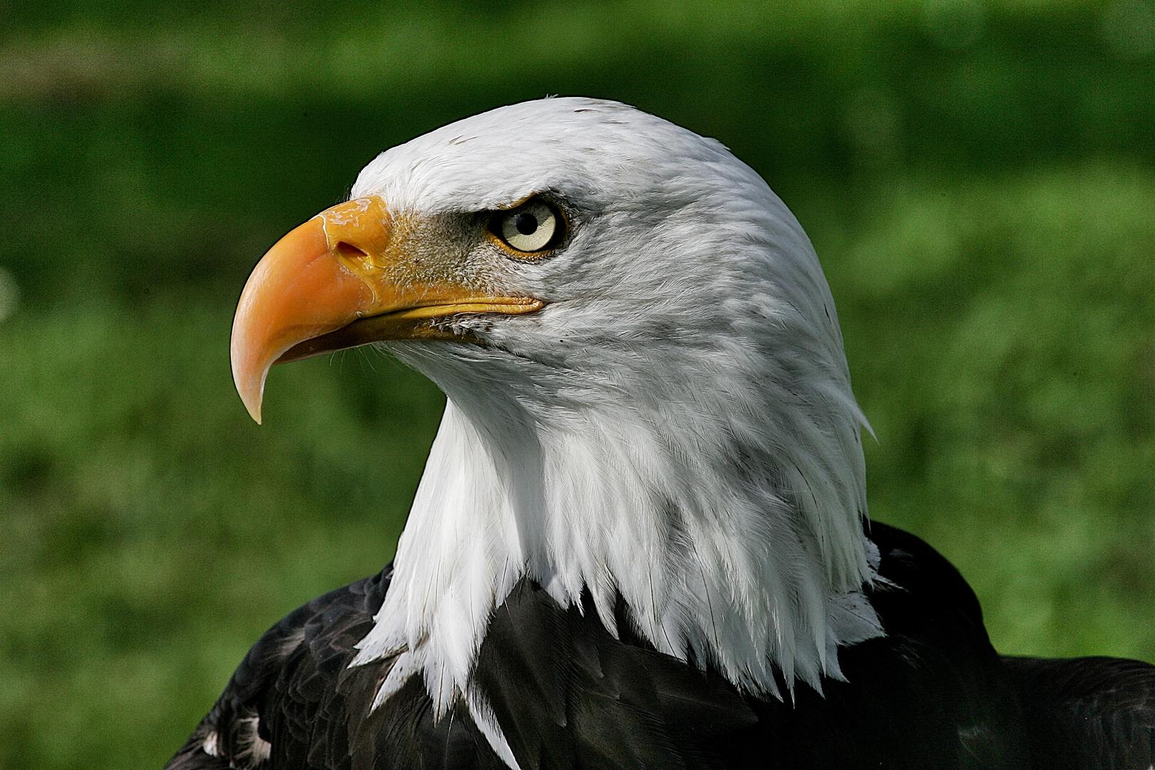 Weißkopfseeadler - Adlerwarte Berlebeck / 3