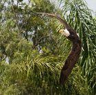 Weißkopfseeadler auf Teneriffa