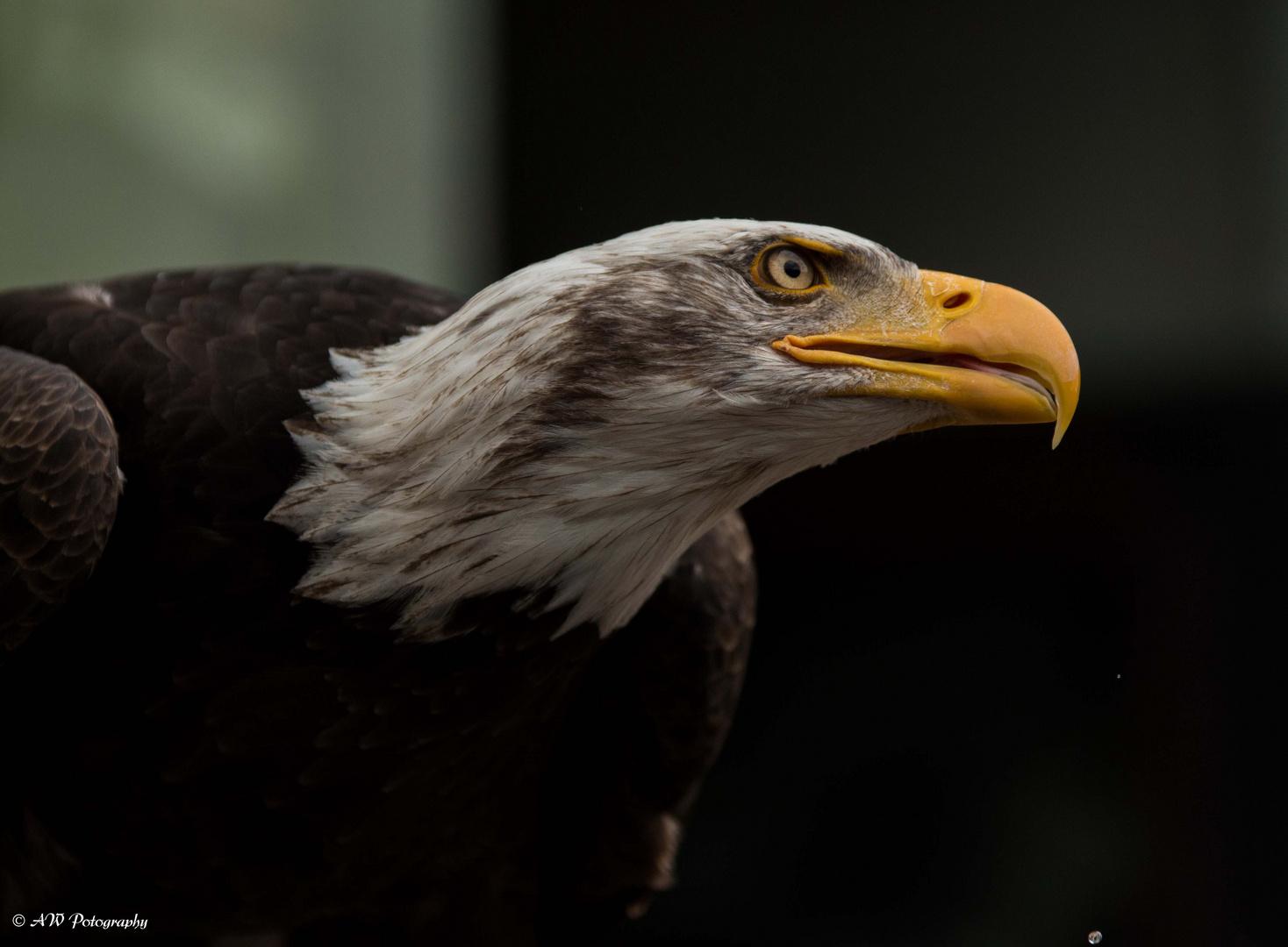 Weißkopfseeadler / Bald Eagle