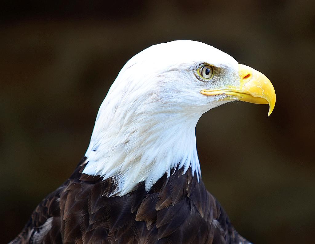 Weisskopfseeadler, Bald eagle, águila calva
