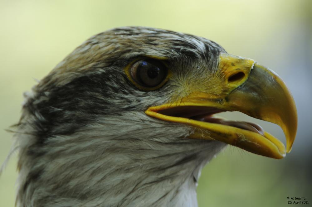 Weißkopfseeadler ca 1 Jahr alt
