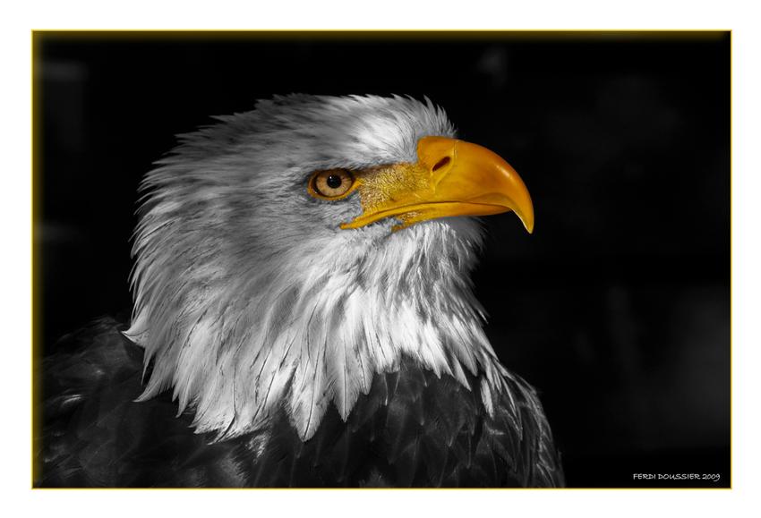 Weißkopfseeadler CK