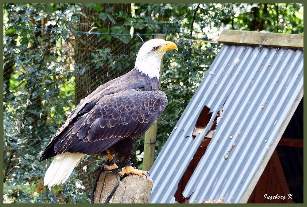 Weißkopfseeadler  - Falknerei Remscheid