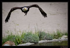 Weisskopfseeadler I