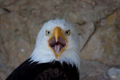 Weißkopfseeadler III