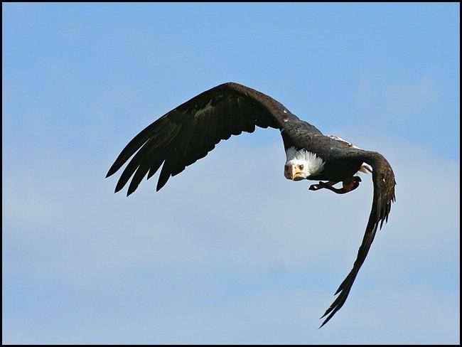 Weisskopfseeadler im Anflug