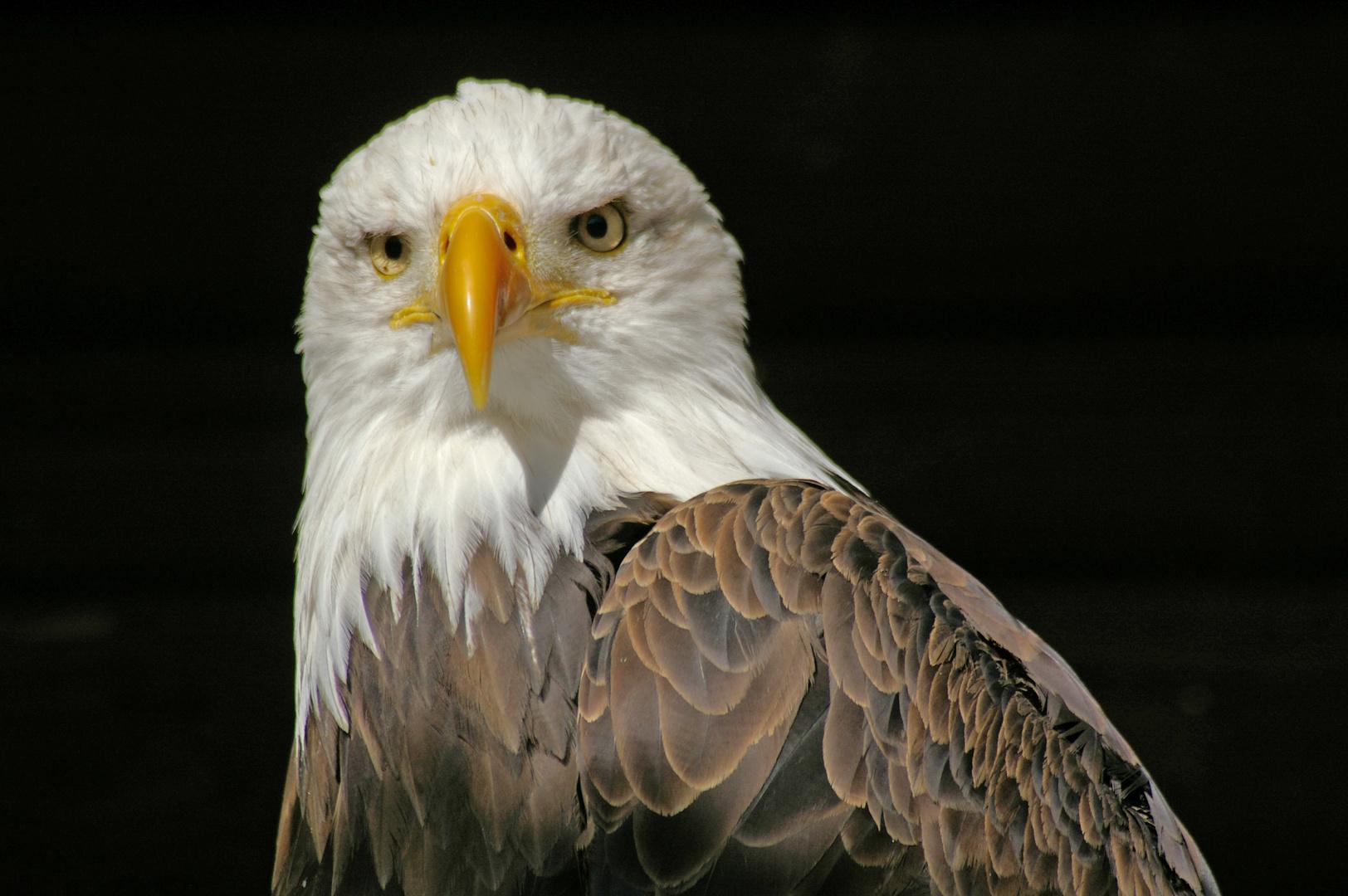 Weisskopfseeadler im Wildfreigehege Hellental