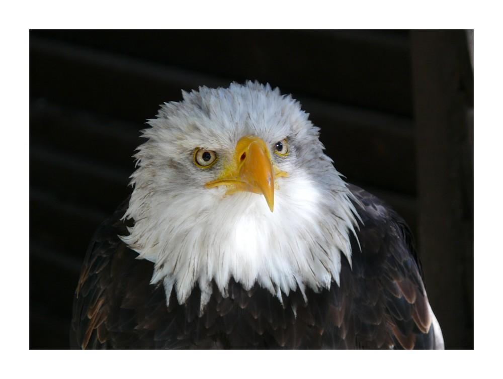 Weißkopfseeadler im Wildfreigehege Hellenthal