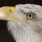 Weißkopfseeadler - Kopfprofil