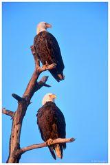 . Weißkopfseeadler-Paar - ( Wildlife Florida )
