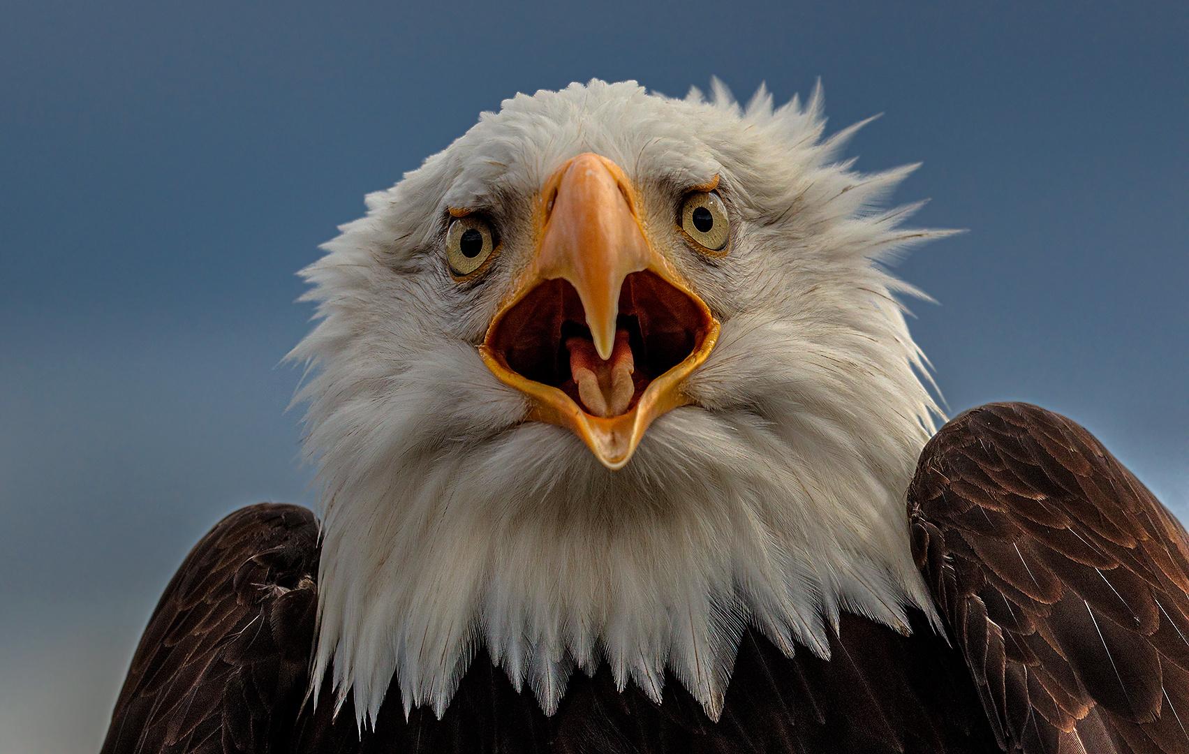 Weißkopfseeadler-Portrait 003