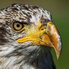 Weißkopfseeadler-Portrait 004