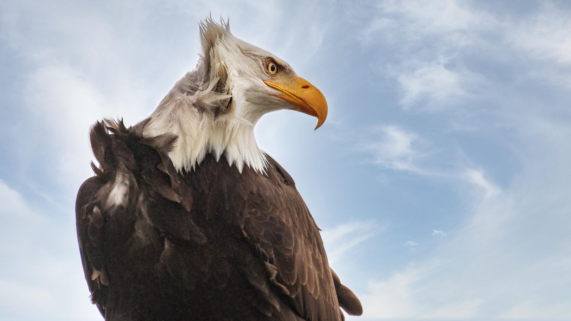 Weißkopfseeadler-Portrait 017