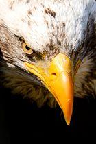 Weißkopfseeadler - Portrait