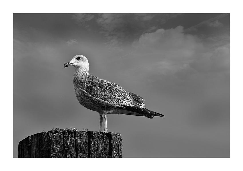 Weißkopfseekrähe......