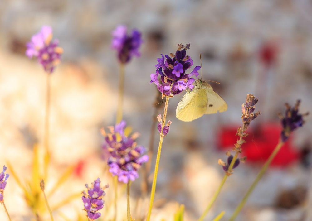 Weißling an lila Blume