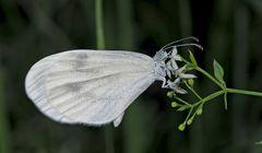 """Weissling aus dem Artenkomplex Leptidea sinapis/reali. - Papillon du genre """"Piéride de la moutarde""""."""