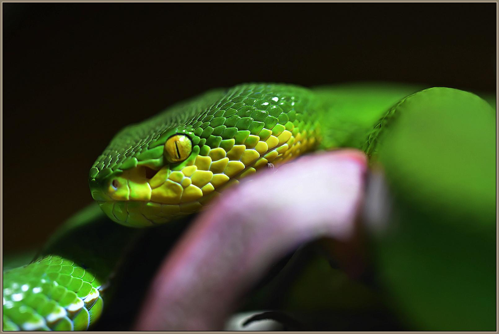 Weisslippen Bambusotter 1 Foto Bild Natur Giftig Portrait
