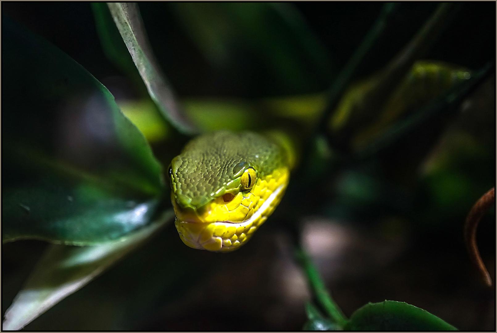 Weisslippen Bambusotter Foto Bild Natur Tiere Ostallgau Bilder