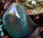 Weißmaulmuräne (Gymnothorax meleagris) - Mauritius (Poison Reef)