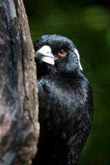 - Weißrücken - Flötenvogel -
