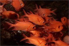 Weisssaum-Soldatenfische