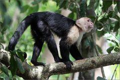 weißschulterkapuziner / white-faced monkey / cebus capucinus (40 cm)