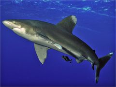 Weißspitzen Hochsee Hai