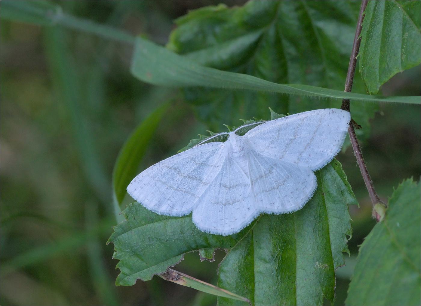Weißstirn-Weißspanner (Cabera pusaria)