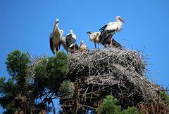 Weißstörche -sieben in einem Nest- -1-