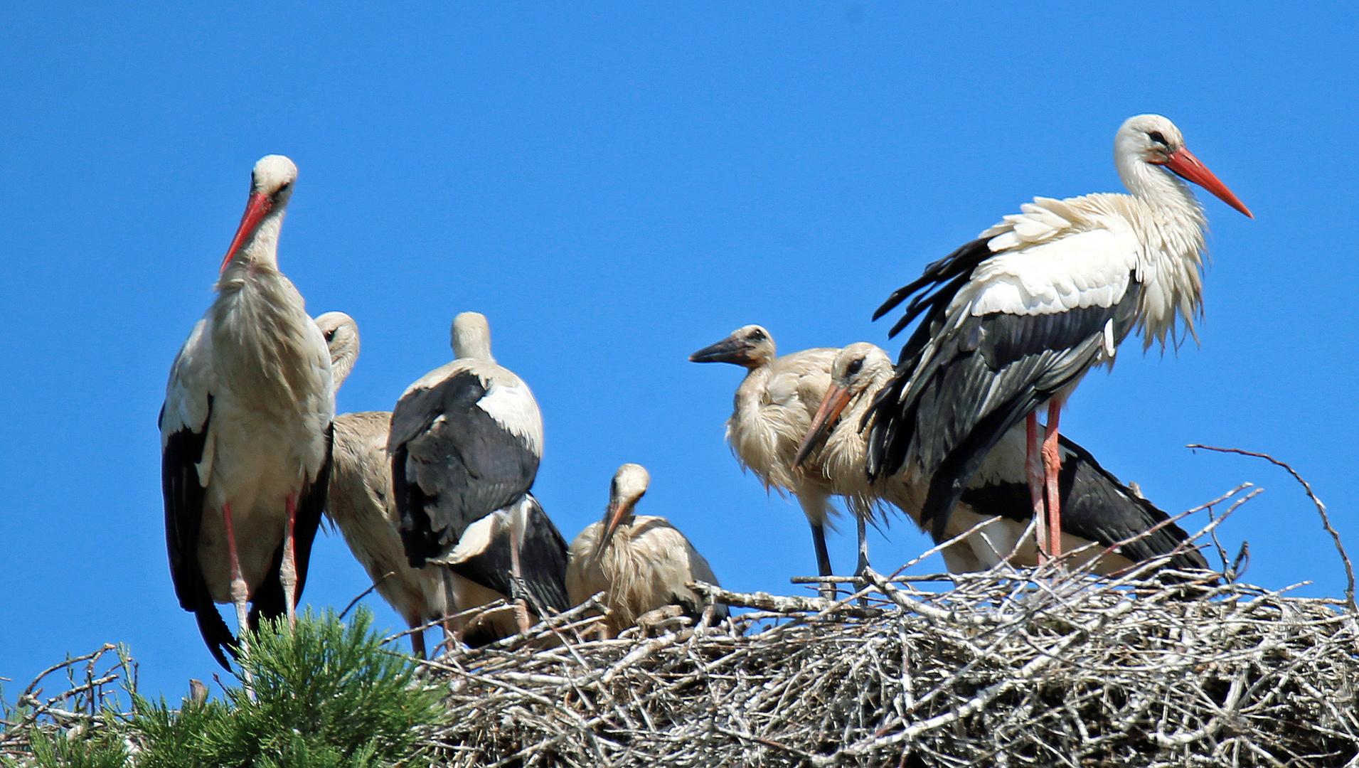 Weißstörche -sieben in einem Nest- -2-