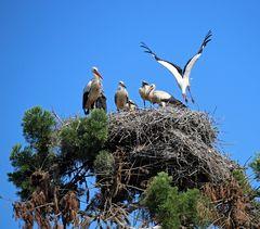Weißstörche -sieben in einem Nest- -3-