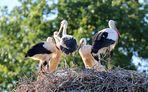 Weißstörche - voll belegtes Nest ........