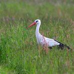 Weißstorch  (Ciconia ciconia), White stork, Cigüeña blanca