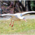Weißstorch im Landeanflug