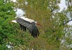 Weißstorch -Mit Baumaterial im Anflug aufs Nest-