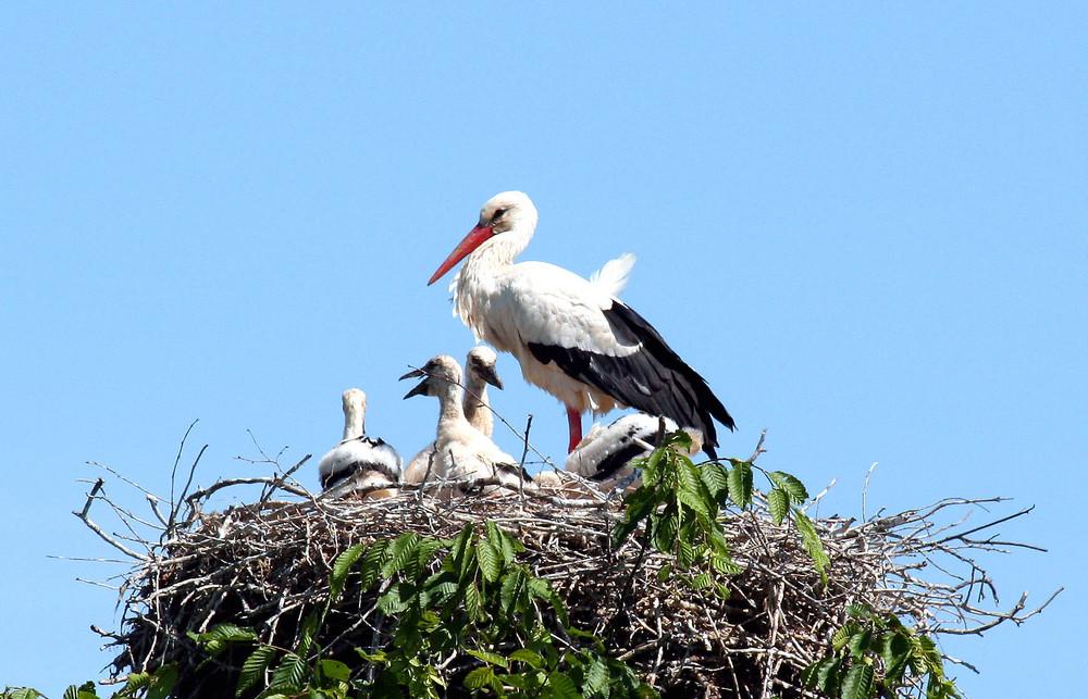 Weißstorch mit Jungvögel im Nest