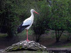 Weißstorch (Neuwieder Zoo)