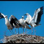 - Weißstorchfamilie - ( Ciconia ciconia )
