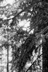 Weißtannen - Waldlicht
