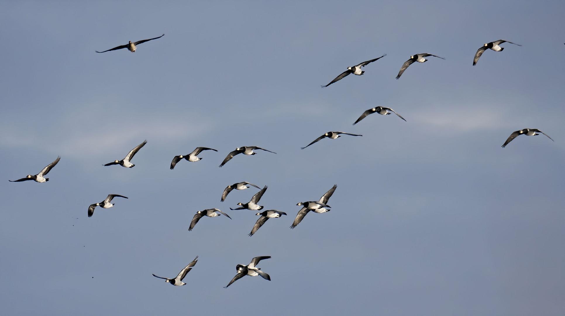 Weißwangengänse im Flug