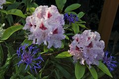 weiterer Rohododendron