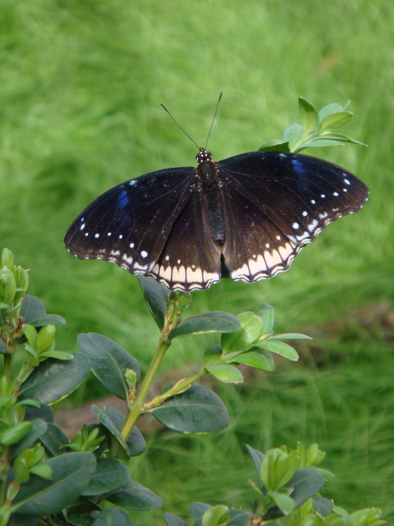weiterer Schmetterling
