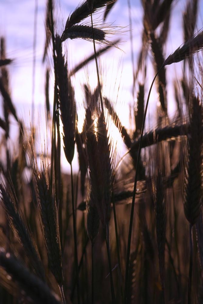 Weizen am Abend