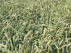 Weizen im Ruhrtal
