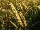 Weizen im Sommer Juli 2005