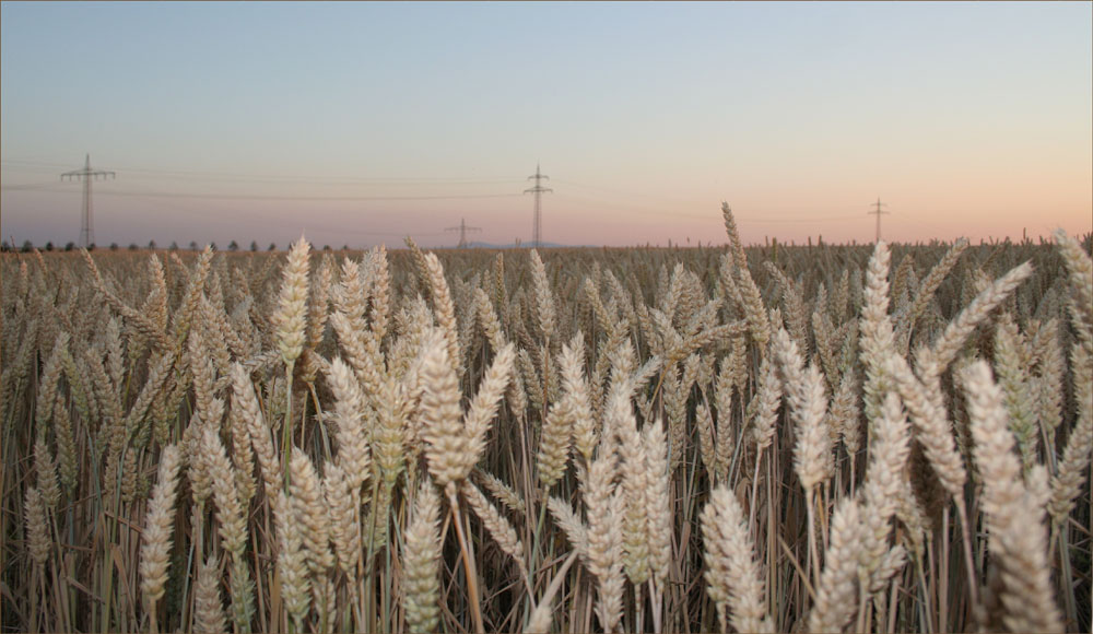 Weizen in der Abendsonne