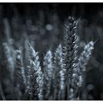 Weizen in Duplex