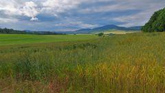 Weizenfeld (campo de trigo)